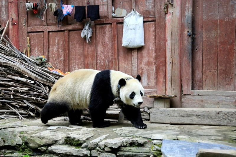 In this Thursday, May 31, 2018 photo, a giant panda wanders through a village in Wenchuan County in southwestern China's Sichuan province. (AP Photo)