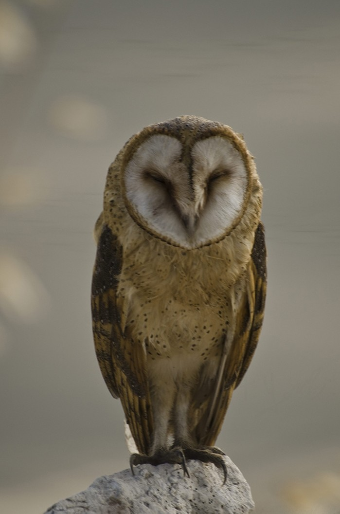 The barn owl, a species native to Turkey. (Sabah File Photo)