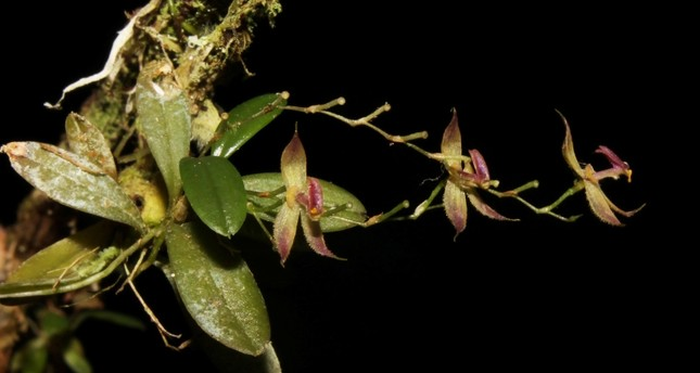 Botanists discover new species of orchid in Peru's central Amazonian rainforest