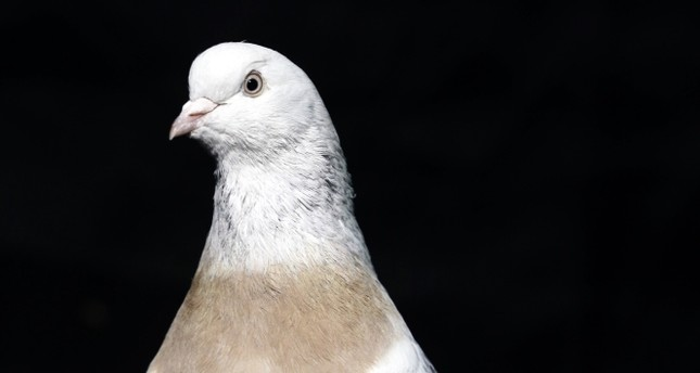 Pigeon hotel gives 5-star treatment to winged masters of sky