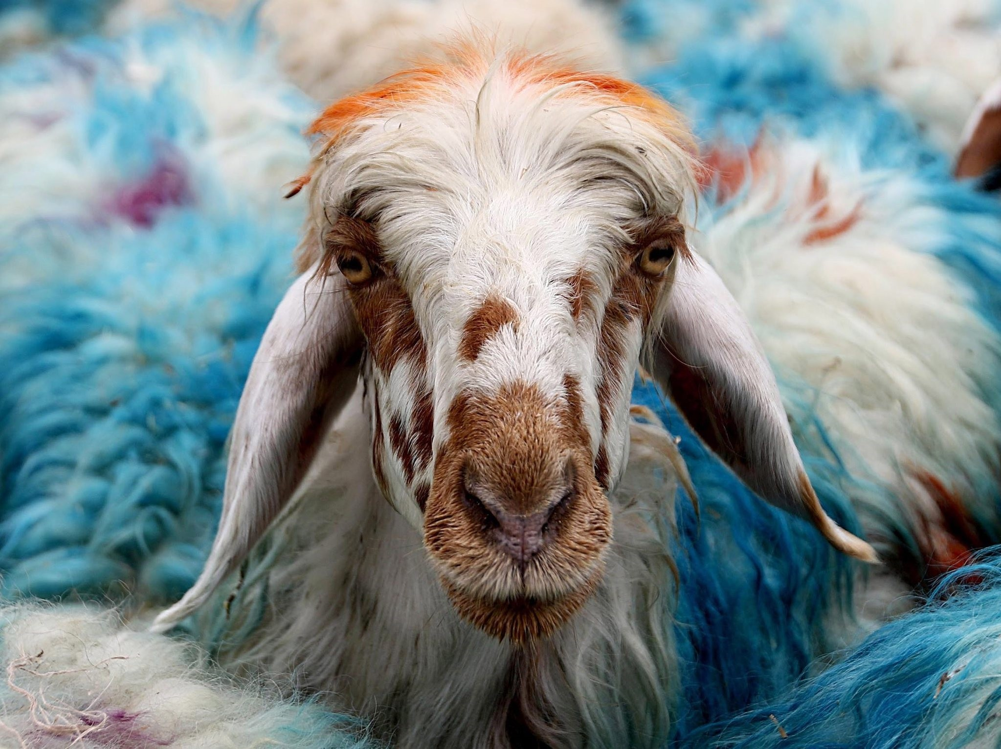 Dating back to the time of Prophet Abraham who was willing to sacrifice his son for the sake of God, the tradition of animal sacrifice during Eid al- is incumbent on all Muslims, male and female, if they have a certain amount of savings.