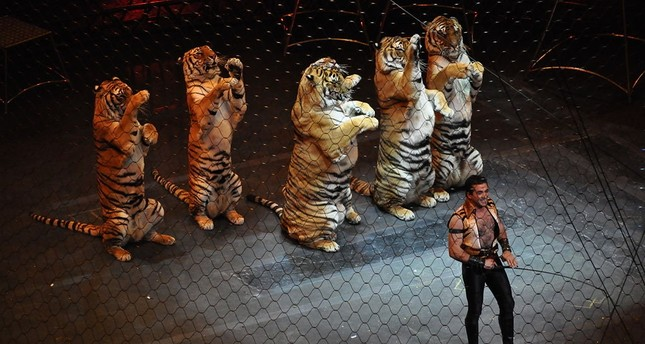 Tigers perform in Ringling Brothers and Barnum and Bailey Circus (Wikipedia photo)