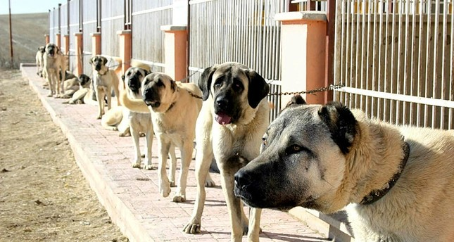 Turkey's Kangal dogs sought in Italy to tackle wolf attacks