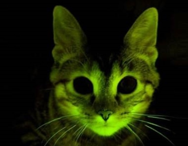 Color-changing cats we genetically engineered to glow in order to study AIDS.