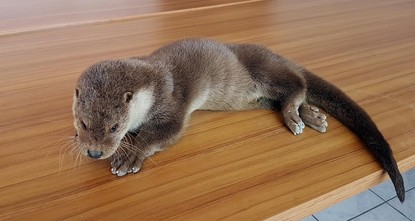 pLocals in the eastern Anatolian province of Tunceli have rescued an injured otter, which is one of Turkey's most rare species, from the Munzur Valley National Park./p  pThe concerned citizens...