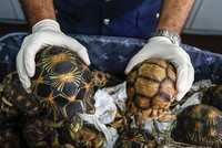 Malaysian customs officers seize rare Madagascar tortoises worth $300,000
