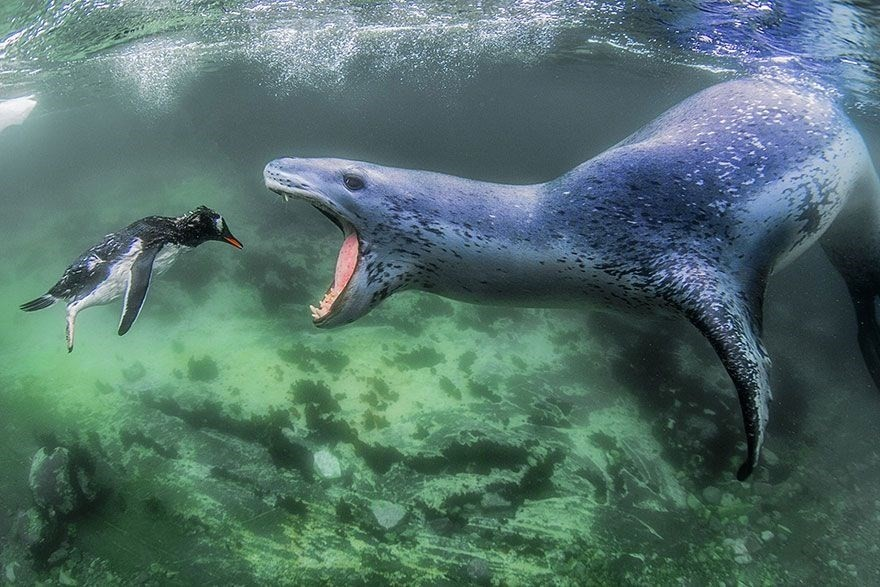 Facing Reality, Pleneau Island, Antarctic Peninsula - 1st place, Animals in Their Environment category
