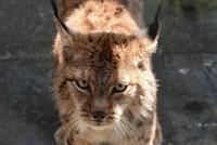 Folkloric and national symbol: Saving the Balkan Lynx