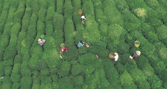 Farmers pick tea leaves in Rize province on the eastern Black Sea coast of Turkey.