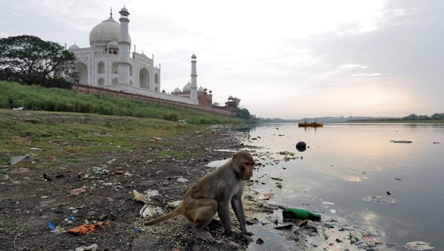A monkey looks for eatables on the polluted banks of the Yamuna river next to the historic Taj Mahal in Agra, India, May 19, 2018. (Reuters Photo)