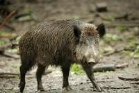 Dänemark: Wildschwein-Zaun soll 2019 gebaut werden