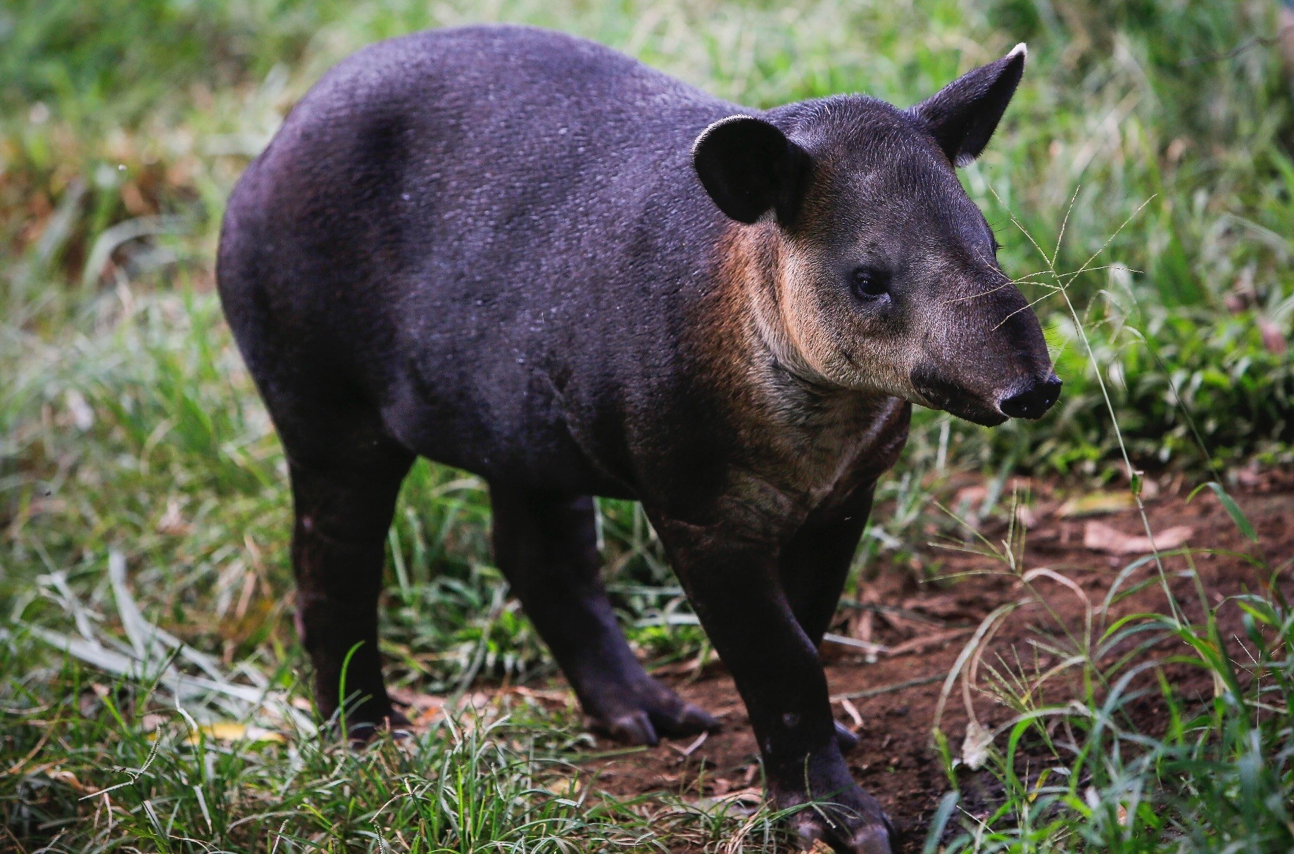 A tapir calf looks for its mother at the National Zoo in Masaya, Nicaragua.