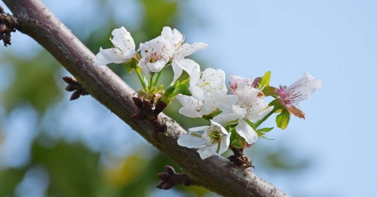 Blossoming cherry trees in Manisa shock producers and locals. (AA Photo)