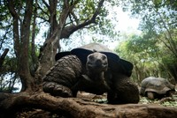 Giant tortoises draw visitors to Changuu Island near Tanzania's Zanzibar