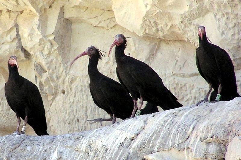 Endangered northern bald ibises seen at the conservation site in Turkey's southeastern u015eanlu0131urfa province's Birecik (Sabah File Photo)