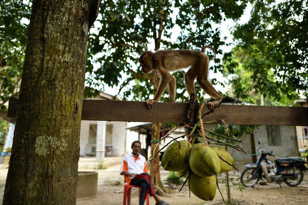 A pig-tailed macaque learns to pick coconuts as trainer Wan Ibrahim Wan Mat looks on, outside his house in the village of Melor in the northern state of Kelantan.