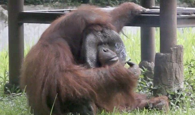 Video frame grab taken on March 4, 2018, and released by the Indonesia Animal Welfare Society March 7 shows a Bornean orangutan named Ozon smoking a cigarette in its zoo enclosure in Bandung, about 150 kilometers southeast of Jakarta. (AFP Photo)