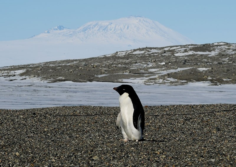 This file photo takon on November 11, 2016 shows an Adelie penguin arriving at the New Harbor research station near McMurdo Station in Antarctica (AFP Photo)