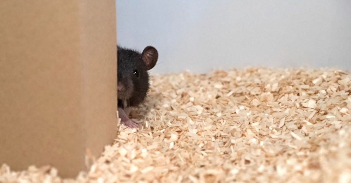 In this undated image courtesy Reinhold, Sanguinetti-Scheck, Hartmann & Brecht, a rat plays hide-and-seek (AFP Photo)