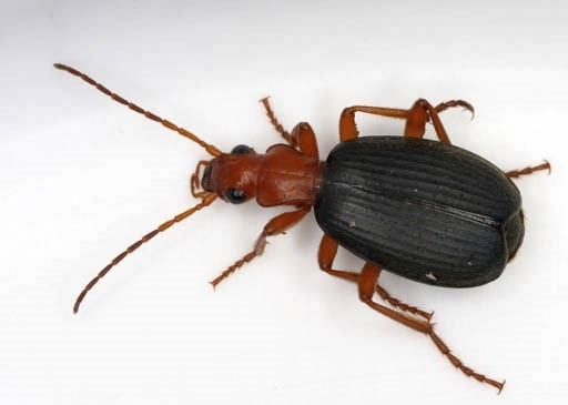 When startled or threatened, bombardier beetles trigger a chemical reaction that results in jet  streams of vapor often delivered in powerful pulses toxic enough to kill an attacking insect.