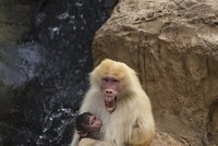 Baboon speech may shed light on human language, scientists say