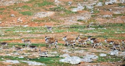 Şanlıurfa's gazelles to enrich surrounding biodiversity