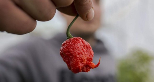 The young farmer Aleksandar Tanic shows the hottest pepper in Serbia on Dec. 3, 2019, which he produces in the southern Serbian town of Niska Banja. AFP Photo
