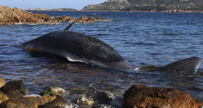 A dead sperm whale that washed ashore earlier this year in Italy also had kilos of plastic in its stomach. (AP Photo)