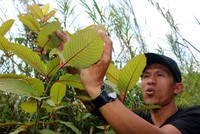 Indonesia's 'miracle plant' Kratom raises health concerns
