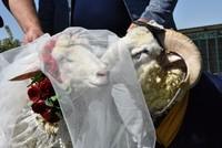 Four-legged love: Ram marries sheep in Turkey