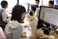A company in Japan claims to have found the cure for overworked employees, long office hours and workplace stress: Cats.