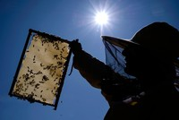 Russia alarmed over mass deaths of bees due to pesticide use