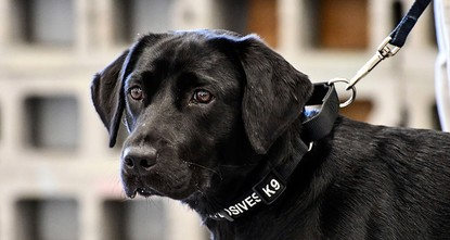 p A puppy lost its love for sniffing out bombs and the CIA lost a recruit./p