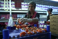 Turkish tomatoes to enter Russian markets as of Nov. 1