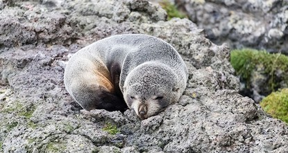 6 baby seals found decapitated in New Zealand, enraging officials, locals