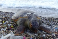 Loggerhead turtle found dead on Turkey's Marmara coast