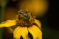 Tiny sweat bees invade Taiwanese woman's tear ducts