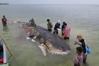 6 kg of plastic found in stomach of dead whale