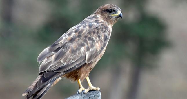 Long-legged buzzards monitored via satellite