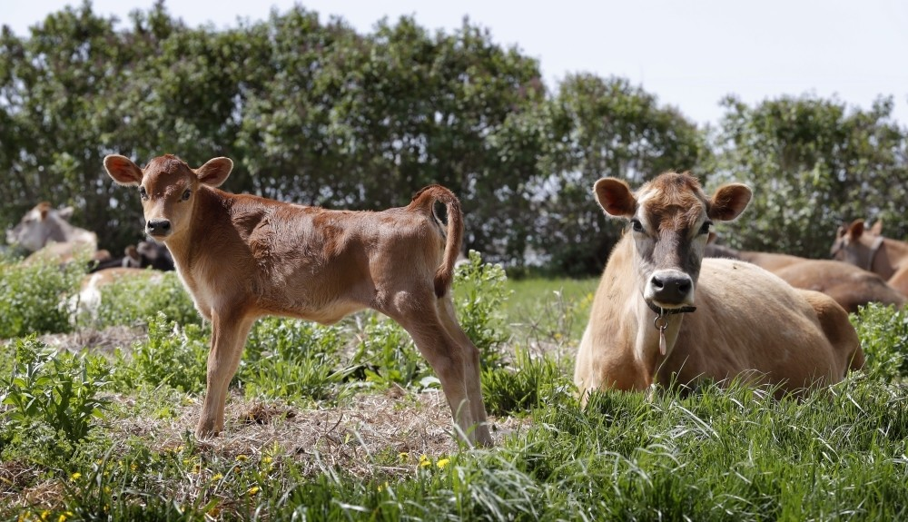 Jersey cows in a field on the Francis Thicke organic dairy farm in Fairfield, Iowa.