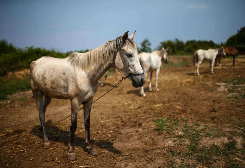 Horses are left waiting in high temperatures in an empty field without shelter.