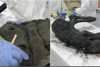Perfectly preserved 40,000-year-old foal unearthed from Siberian permafrost