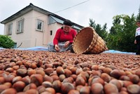 Turkey exports over 25,000 tons of hazelnuts in September