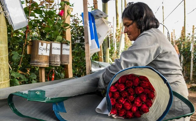 A worker selects pink roses to be packed ahead of Valentine's Day at a flower farm in Tabio, Colombia.
