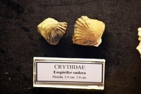 صدفة بعمر 460 مليون عام في متحف بحري تركي