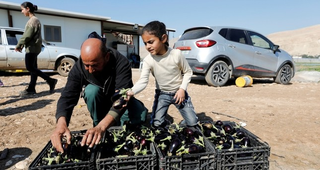 Palestinian farmer puts freshly picked eggplants in boxes at his farm in the village of Al-Jiftlik near Jericho in the Israeli-occupied West Bank, Feb. 5, 2020. Reuters Photo