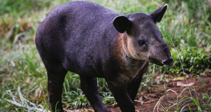 pThirteen tapirs lounge in the bushes of Ticuantepe Zoo, in eastern Nicaragua, their bellies plump with leaves and fruit, blissfully unaware of the peril faced by their kind./p  pThe largest land...