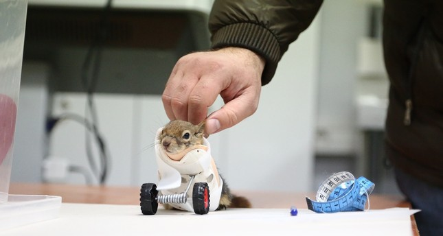 Turkish squirrel to become world's first to get prosthetic limb