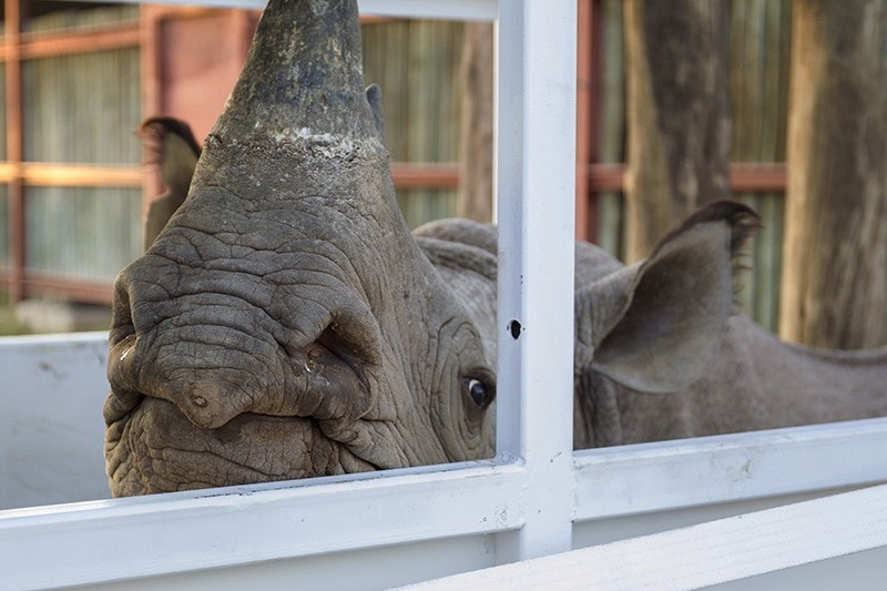 In this photo taken on Wednesday May 2, 2018, a rhino in it's enclosure in the Addo Elephant Park, near Port Elizabeth, South Africa, on the eve of being transported to Zakouma National Park in Chad. (AP Photo)