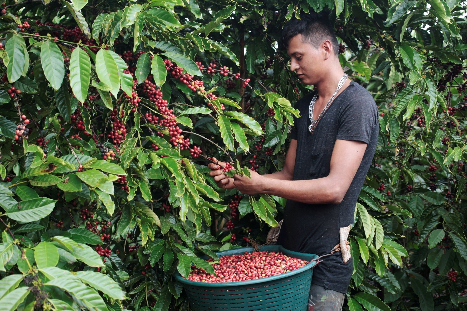 A worker harvests robusta coffee fruits at a plantation in Nueva Guinea, Nicaragua.